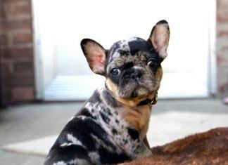 Bulldog Pháp