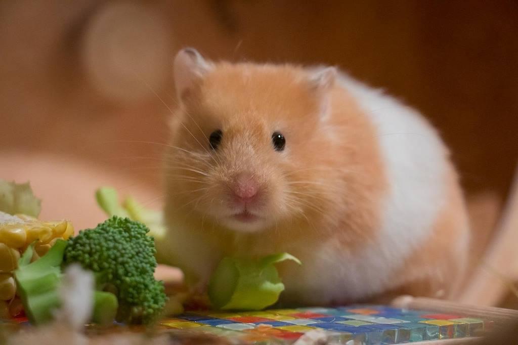Chuột hamster nuôi trong nhà
